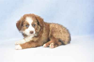 Columbia Find Pure Bred Puppies for Sale | Howard County, Baltimore, MD